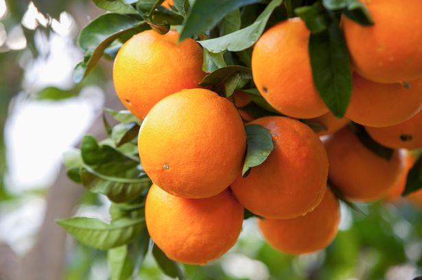 Close-up-of-oranges-on-orange-tree-Majorca-Spain