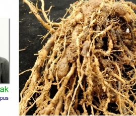 Organic methods to control Root Knot Disease of Vegetables in Nepal