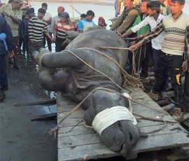 Flood-swept rhinos brought back to Nepal
